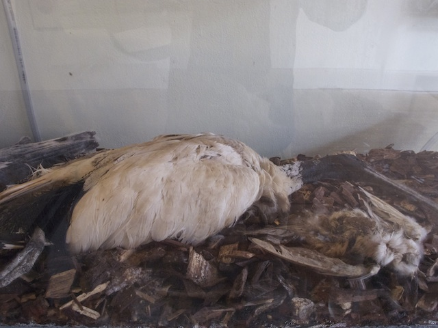Decaying Ibis
