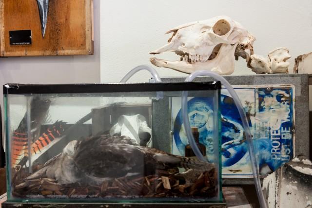 Dead Kookaburra